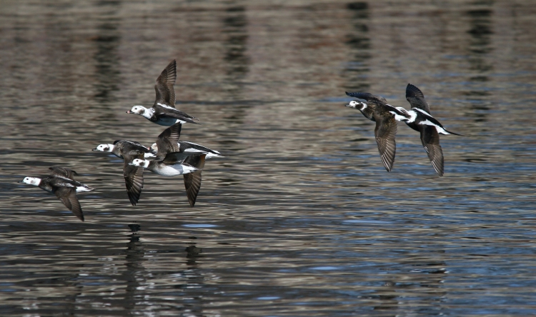Long-tailed Ducks in flight
