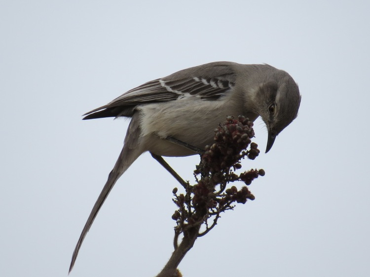 Northern Mockingbird at Bronte Provincial Park campground