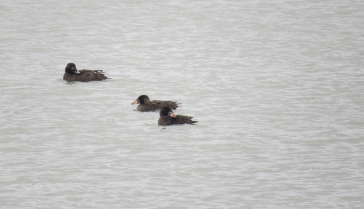 One White-winged Scoter and two juvenile Surf Scoters
