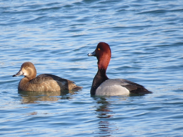 Protective male Redhead duck