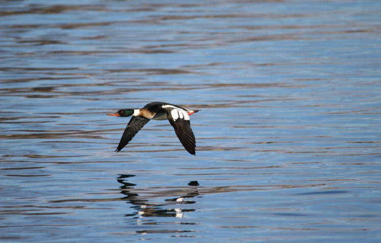 Red-breasted Merganser (male) in flight