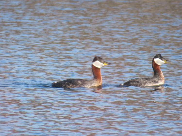 Red-necked Grebes at Colonel Samuel Smith Park