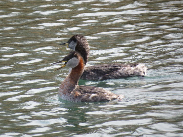 Red-necked Grebes at Humber Bay Park East