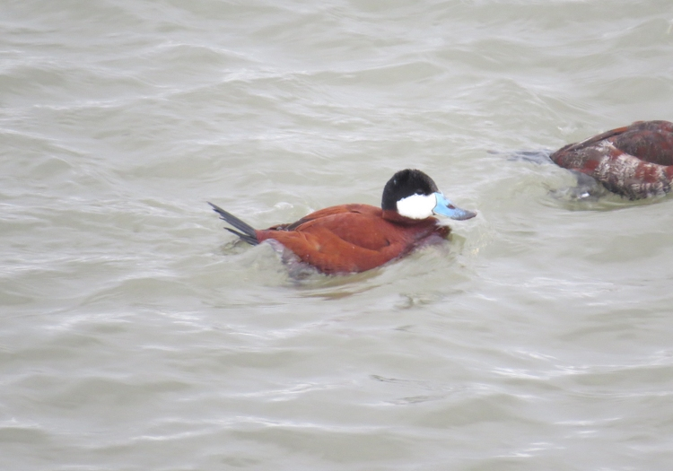 Ruddy Duck (breeding plumage)