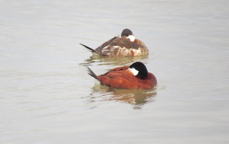 Ruddy Ducks (breeding and transitioning plumage)