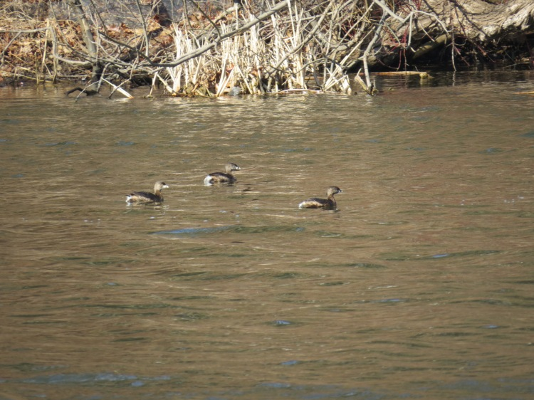 Three Pied-Billed Grebes
