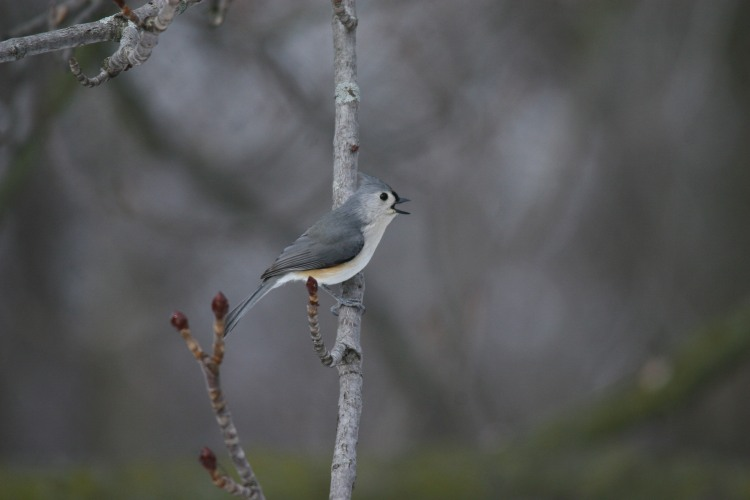 Tufted Titmouse (singing)
