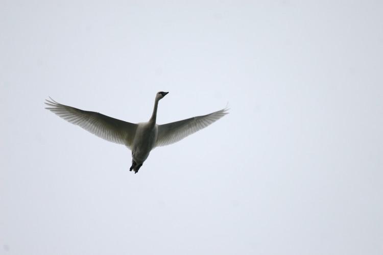 Tundra Swan flying over Lasalle Marina