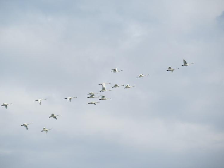 Tundra Swans at Spencer Smith Park