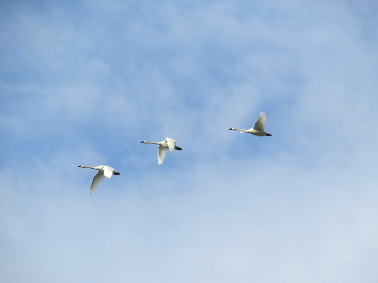 Tundra Swans in flight at Spencer Smith Park
