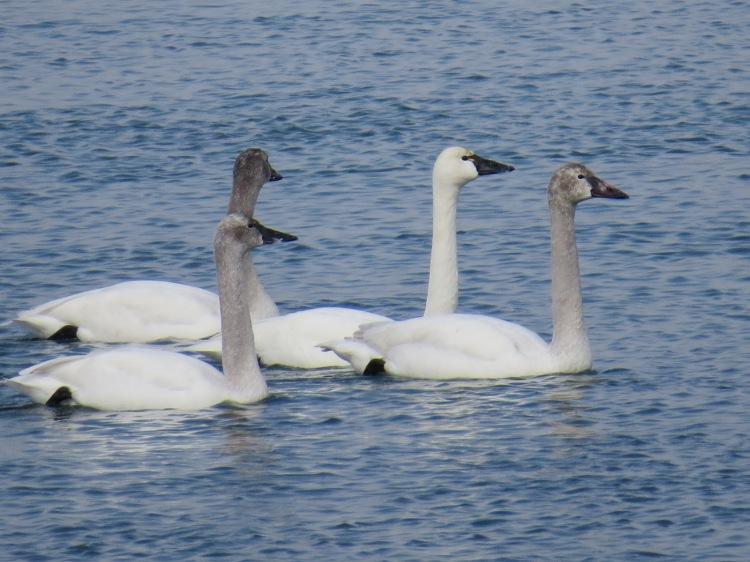 Tundra Swans on the Niagara River