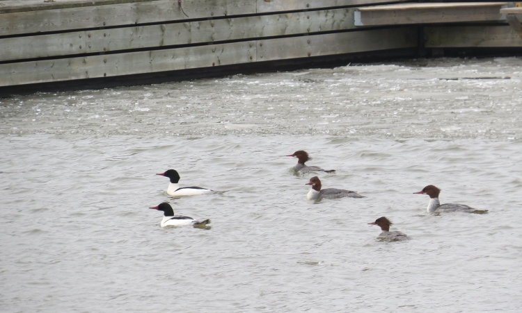 Two male, four female Common Mergansers