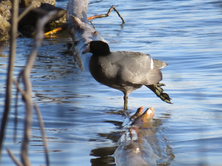 American Coot with leg outstretched