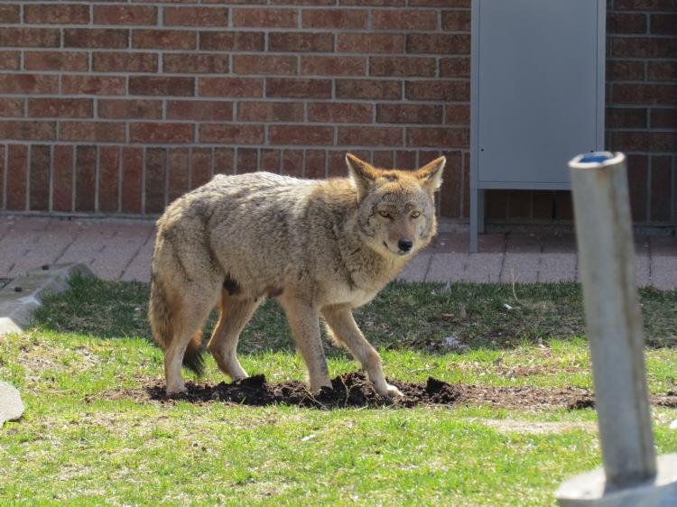 Coyote arrives at hidden food stash