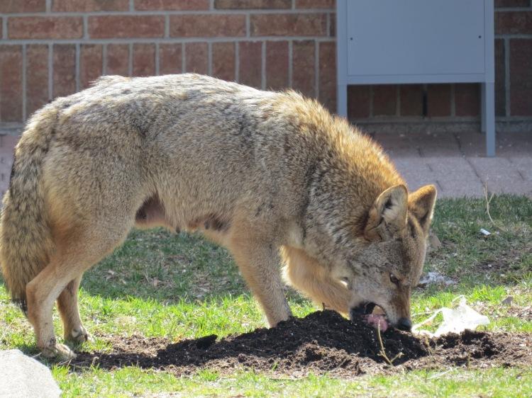 Coyote consuming tenderloin