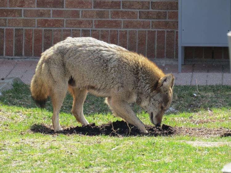 Coyote digging for hidden food