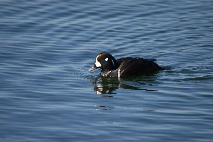 juvenile male Harlequin Duck