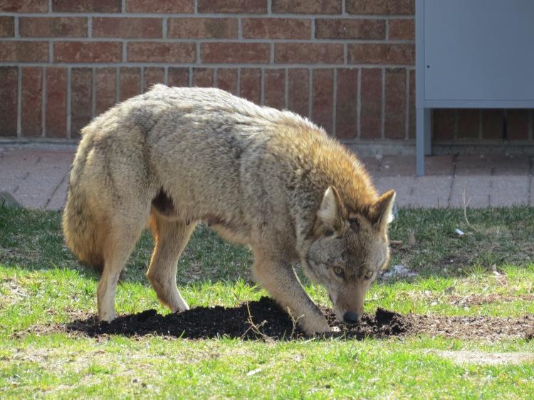 Coyote locating stash