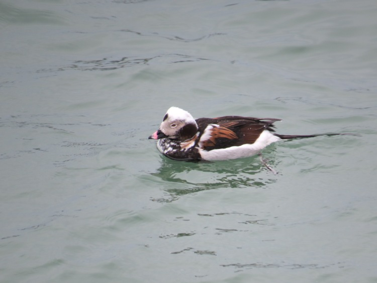 male Long-tailed duck (almost summer plumage)