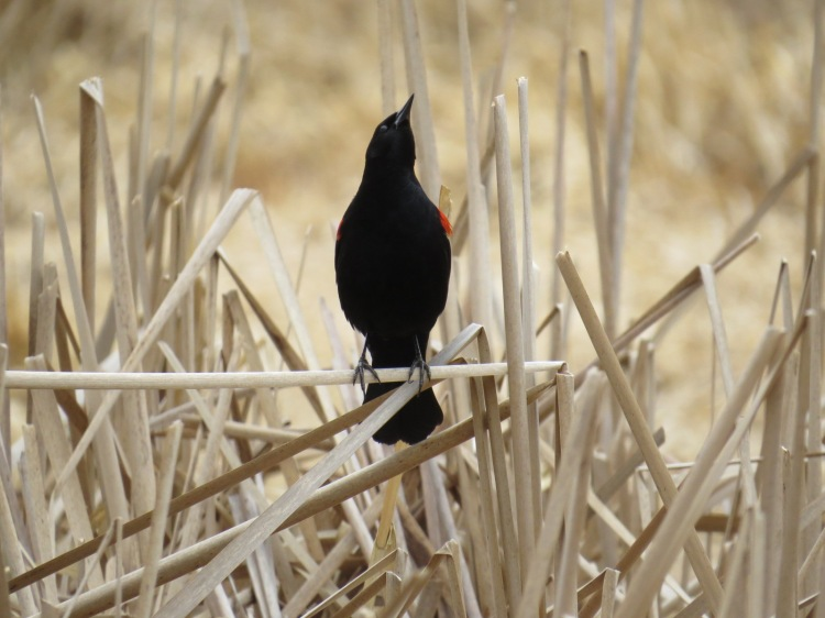 male Red-winged Blackbird checking if a female in flight finds his song appealing