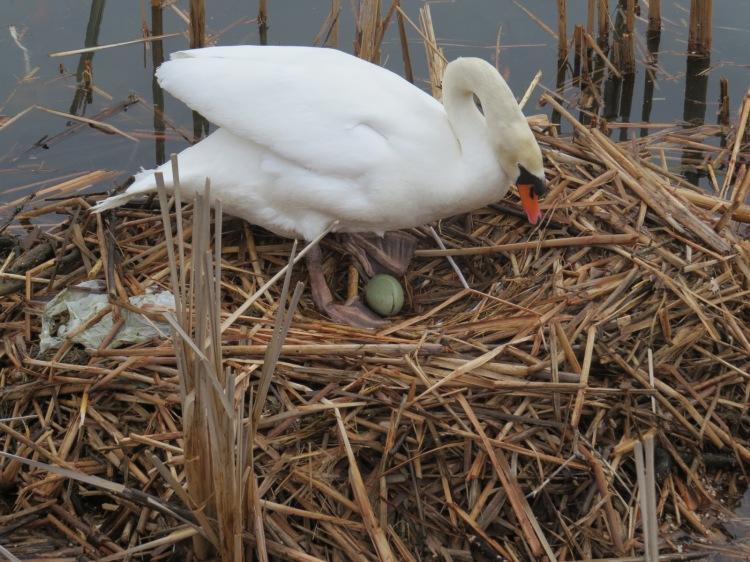 Mute Swan exposes egg