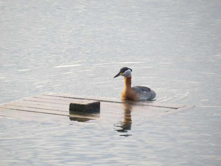 Red-necked Grebe approaching platform