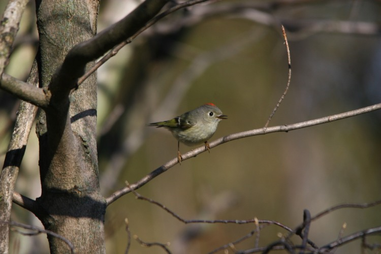 Ruby-crowned Kinglet, Colonel Samuel Smith Park