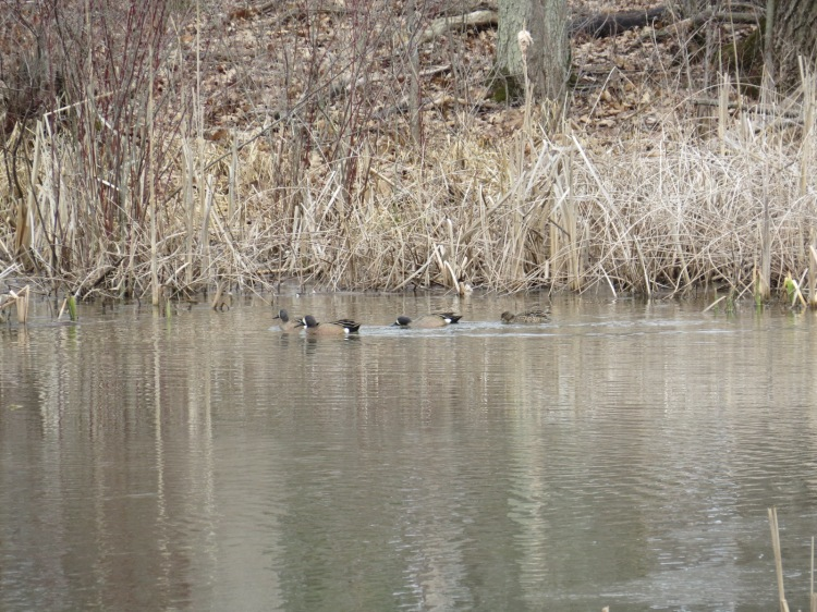 Three males and one female Blue-winged Teal