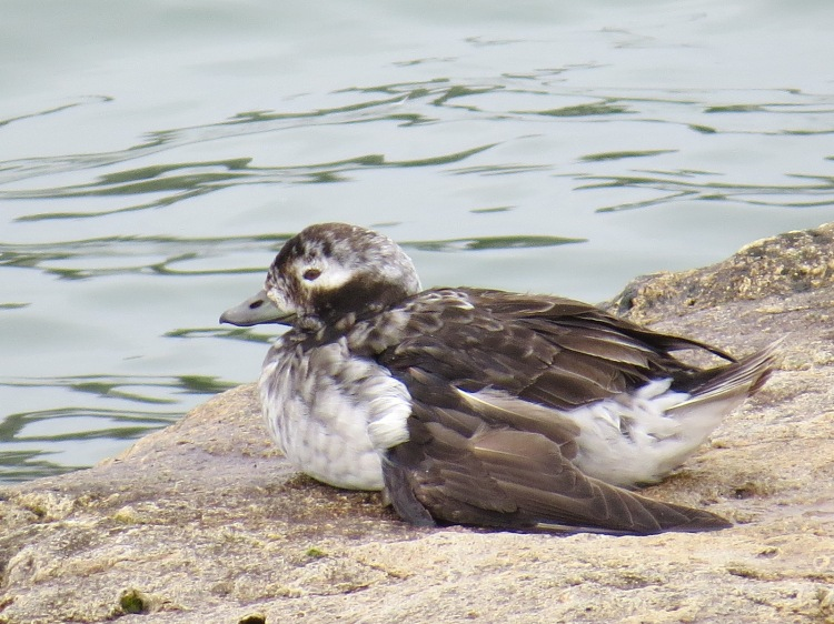 wounded female Long-tailed Duck (summer plumage)