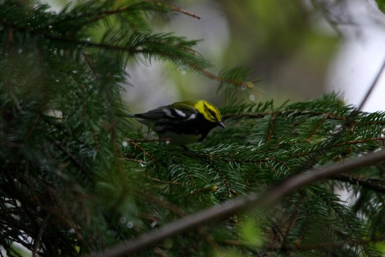 Black-throated Green Warbler at Col. Sam