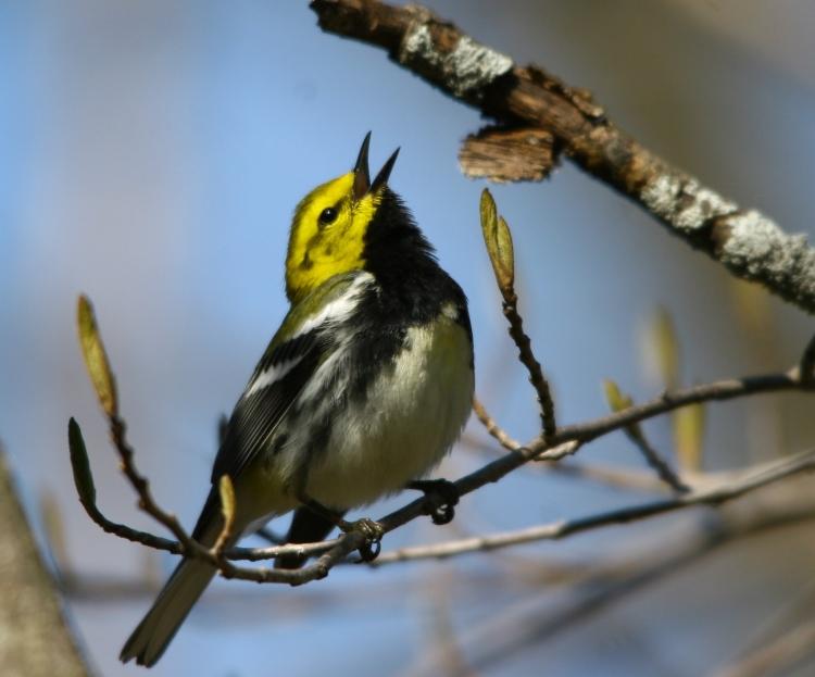 Black-throated Green Warbler singing