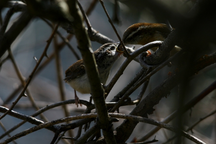 Carolina Wren fledgling being fed by parent