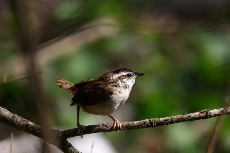Carolina Wren fledgling