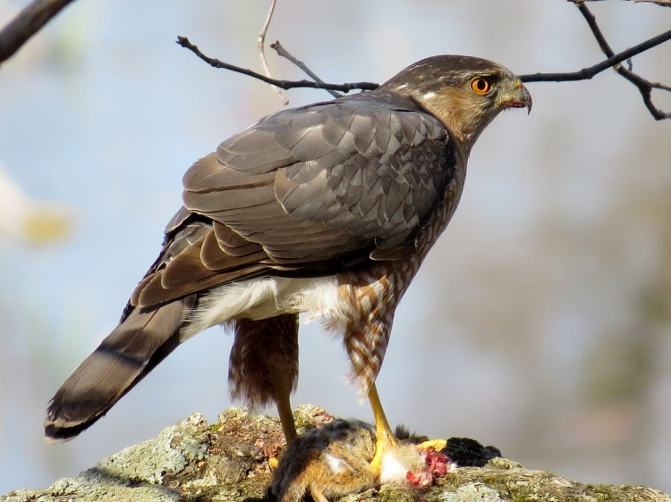 Cooper's Hawk consuming chipmunk