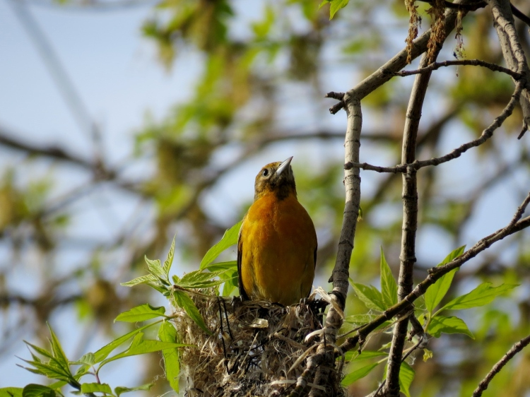 female Baltimore Oriole emerges from nest