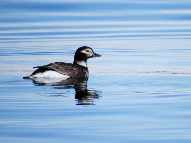 female Long-tailed Duck in summer plumage