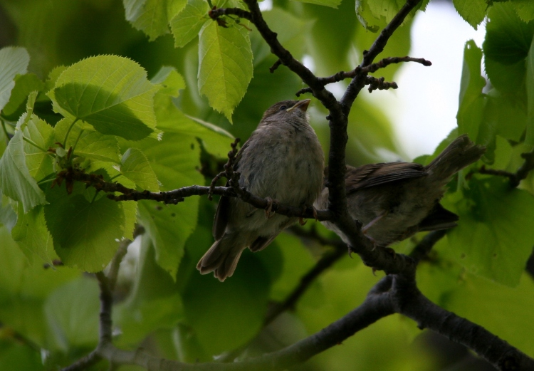 fledgling House Sparrows