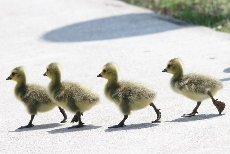 Four goslings