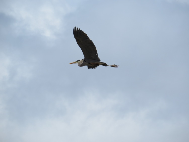 Great Blue Heron flying towards pond