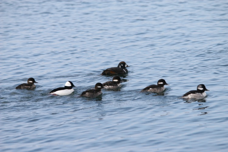 Harlequin Duck associating with Buffleheads