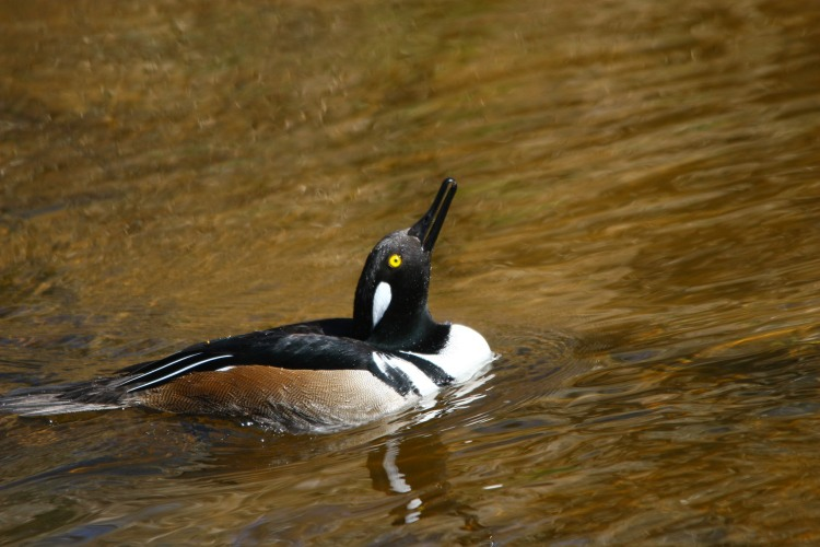Hooded merganser drinking water