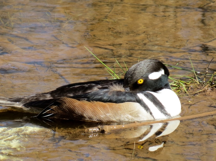 Hooded merganser at rest