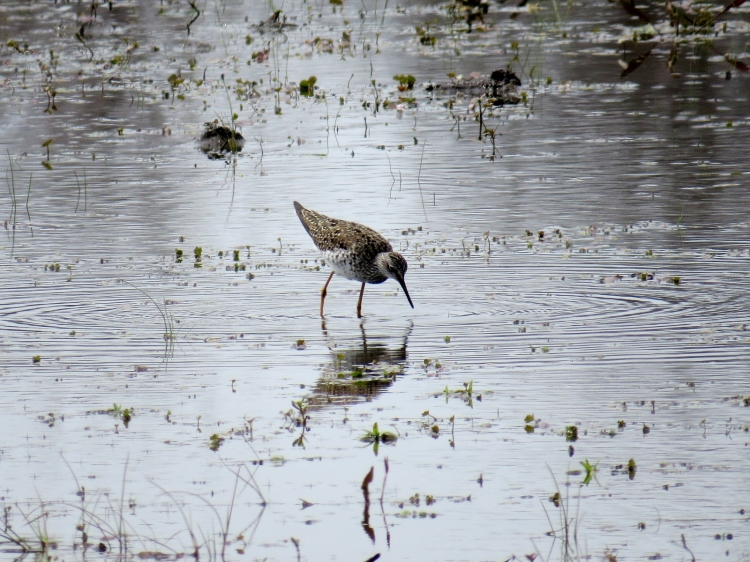 Lesser Yellowleg foraging in field