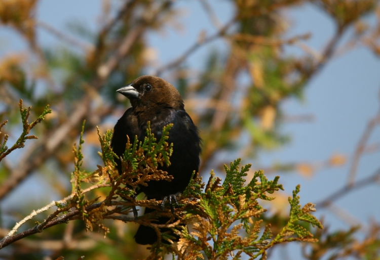 male Brown-headed Cowbird