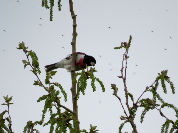 male Red-breasted Grosbeak consuming midges