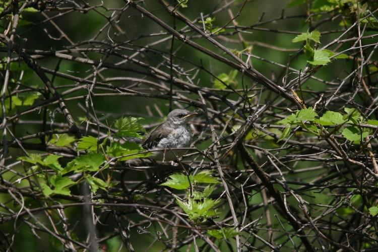Northern Mockingbird nestling