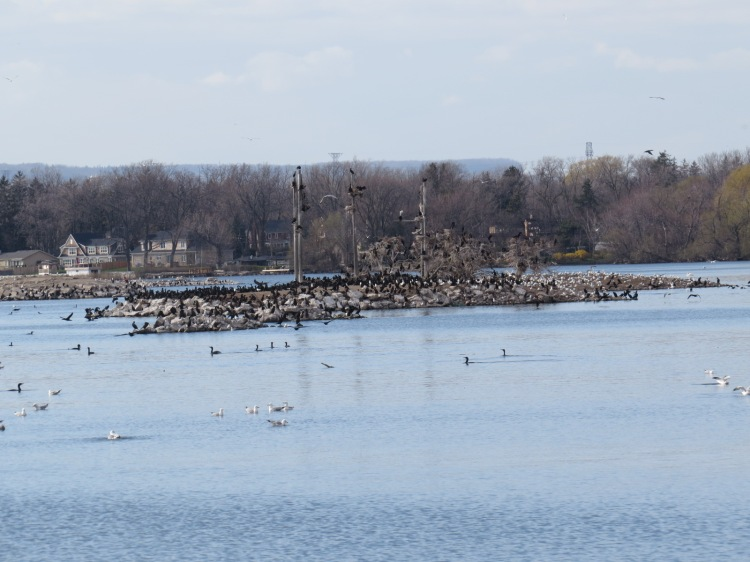 Partial view of Cormorant, Gull, Tern, Night Heron colony at CCIW