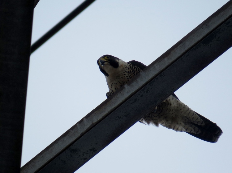 Peregrine Falcon on hydro tower