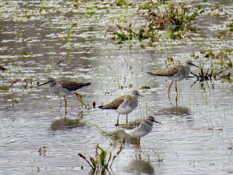 Quartet of Lesser Yellowlegs