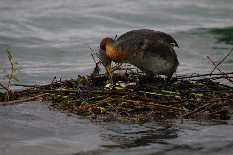 Red-necked Grebe with four eggs